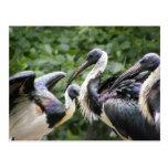 ¿Hace usted parque zoológico? Ibis Paja-necked Postales