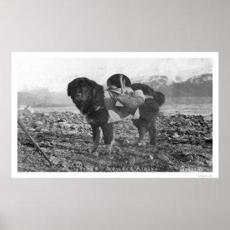 Hacer excursionismo el perro Seward Alaska 1911 Posters