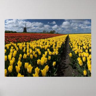 Hacia fuera en los campos del tulipán poster