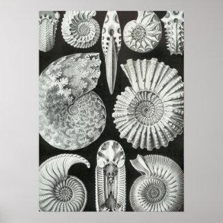 Haeckel Ammonitida Poster