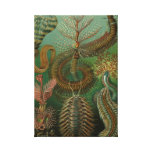 Haeckel Chaetopoda Gallery Wrapped Canvas