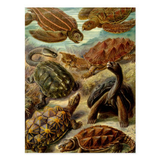 Haeckel Chelonia Postcard