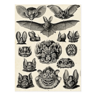 Haeckel Chiroptera Postcard