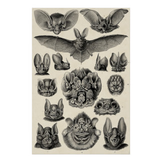 Haeckel Chiroptera Posters
