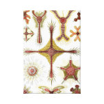 Haeckel Discoidea Stretched Canvas Print