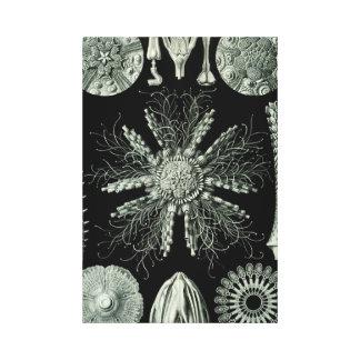 Haeckel Echinidea Canvas Print