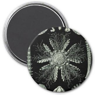 Haeckel Echinidea Magnet