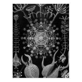 Haeckel Phaeodaria Postcard