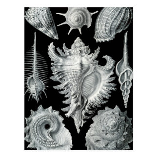 Haeckel Prosobranchia Postcard