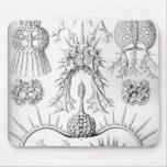 Haeckel Spyroidea