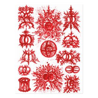 Haeckel Stephoidea Radiolarian Postcard
