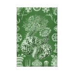 Haeckel Thuroidea Stretched Canvas Print