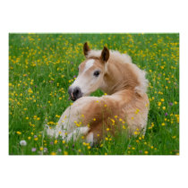 Haflinger Horse Cute Foal Flowerbed, Animal Photo Poster