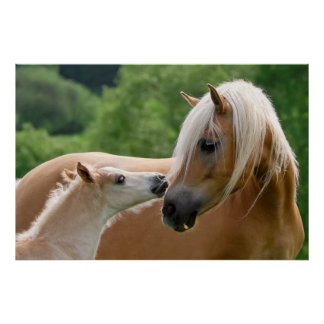 Haflinger Horses Foal and Mare cuddling, Photo Poster