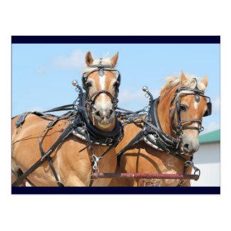 Haflinger Horses Postcard