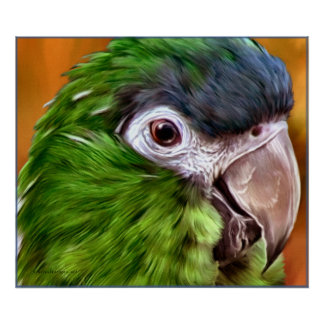 Hahn s Macaw Posters