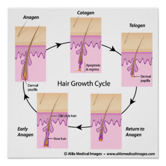 Hair growth cycle Poster