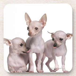 Hairless Chihuahua (5 and 7 months old) Beverage Coaster