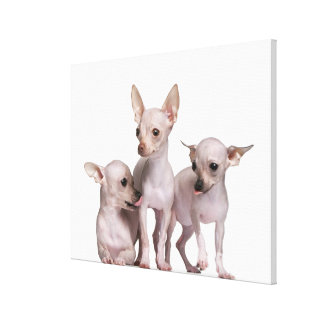 Hairless Chihuahua (5 and 7 months old) Canvas Print