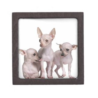 Hairless Chihuahua (5 and 7 months old) Keepsake Box