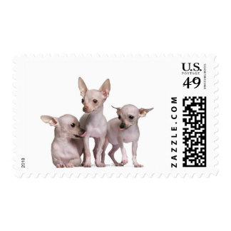 Hairless Chihuahua (5 and 7 months old) Postage