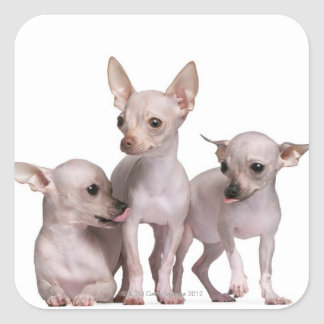 Hairless Chihuahua (5 and 7 months old) Square Sticker