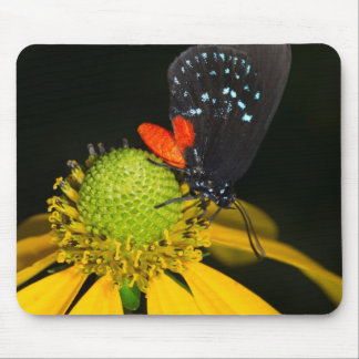 Hairstreak de Atala en la flor, Eumaeus Atala Tapetes De Raton