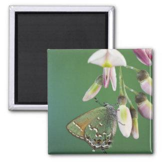 Hairstreak del enebro, gryneus de Callophrys, adul Imanes Para Frigoríficos