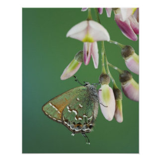 Hairstreak del enebro gryneus de Callophrys adul Impresiones