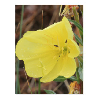 Hairy Evening Primrose Blossom Postcard
