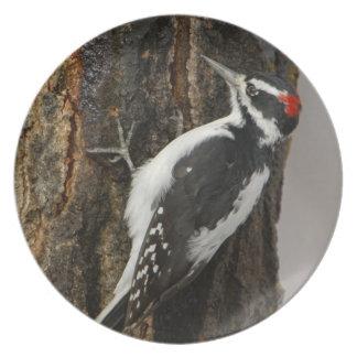 Hairy Woodpecker male on aspen tree, Grand Teton Dinner Plate