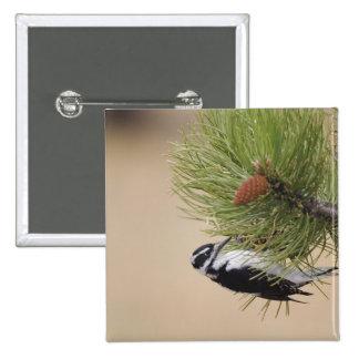 Hairy Woodpecker, Picoides villosus, female Button