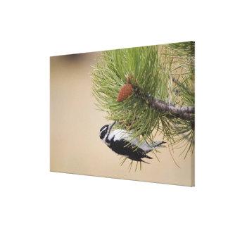 Hairy Woodpecker, Picoides villosus, female Canvas Print
