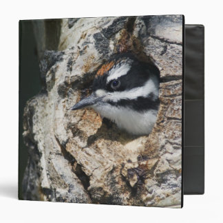Hairy Woodpecker, Picoides villosus, young in 3 Ring Binders