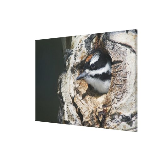 Hairy Woodpecker, Picoides villosus, young in Gallery Wrap Canvas