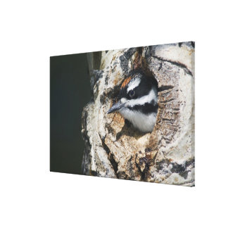 Hairy Woodpecker, Picoides villosus, young in Canvas Print