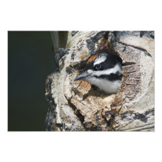 Hairy Woodpecker Picoides villosus young in Photo Print