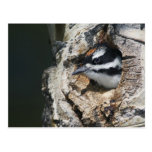 Hairy Woodpecker, Picoides villosus, young in Postcards