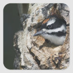 Hairy Woodpecker, Picoides villosus, young in Square Stickers