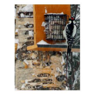 Hairy Woodpecker Postcard