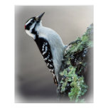 Hairy Woodpecker Posters