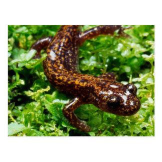 Hakone salamander postcard