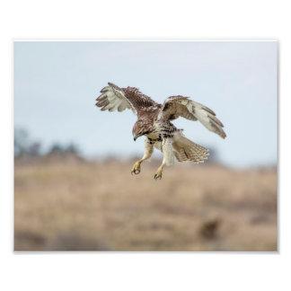 halcón atado rojo no maduro 10x8 que asoma fotografía