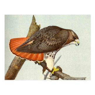 Halcón atado rojo postal