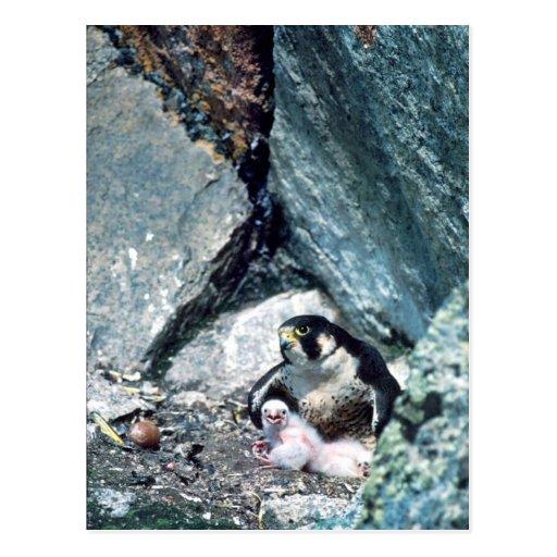 Halcón de peregrino con los polluelos postales