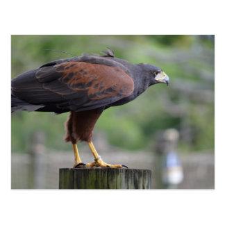 halcón en imagen del pájaro del rapaz del poste postal