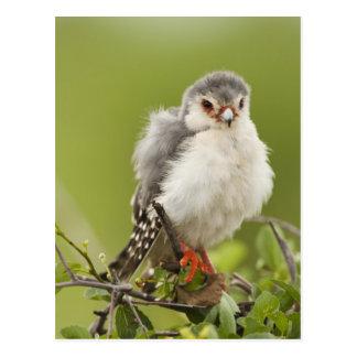 Halcón enano preening en un árbol tarjeta postal