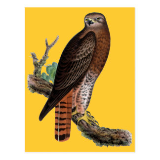 halcón negro Rojo-atado Postal