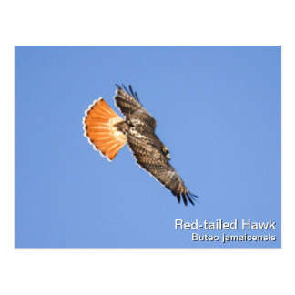 halcón Rojo-atado Postal