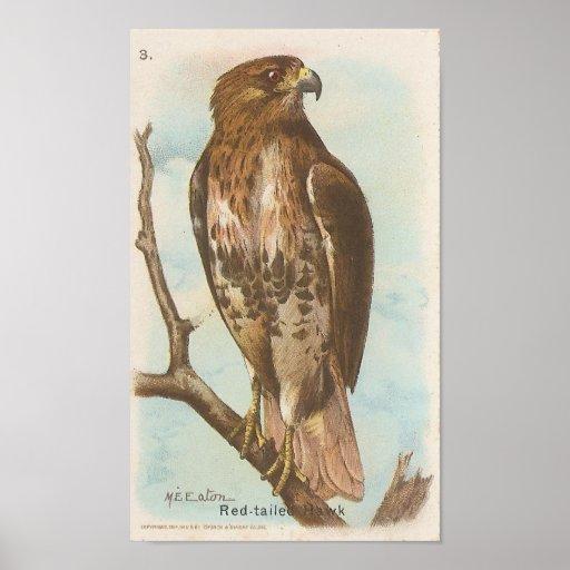 halcón Rojo-atado Posters